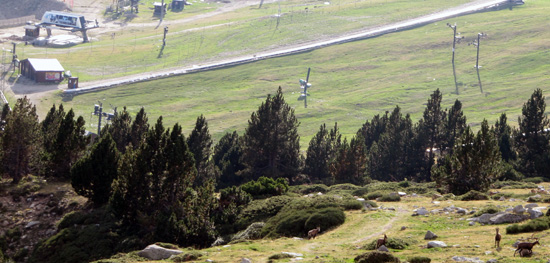 Ramat d'Isards a prop de l'estació de Vallter 2000